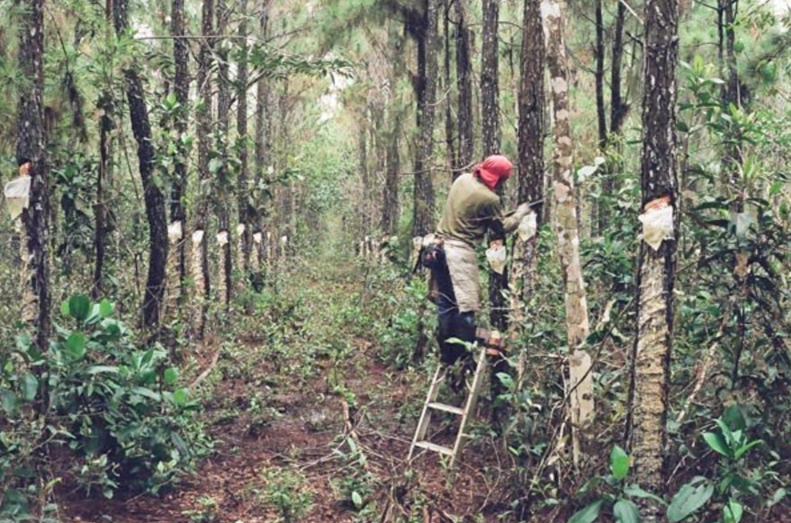Pine Tar Resin – ASH Pacific